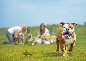 English Bulldog dog puppy running towards the camera