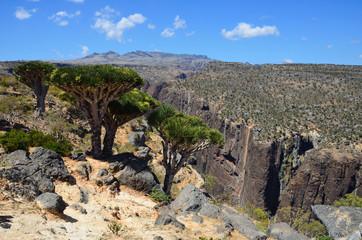 Драконовые деревья в горах Сокотры, Йемен