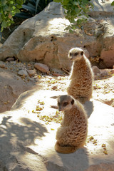 Couple de suricates