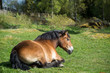 Ardennes horse resting at springtime in the Swedish countryside