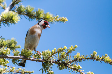 goldfinch on a pine