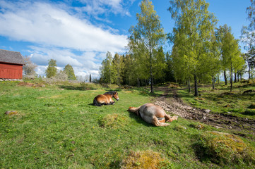Ardennes horses resting at springtime in Sweden