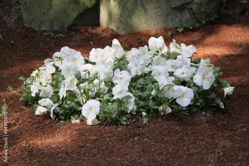 Gepflegtes Grab mit weißen Stiefmütterchen