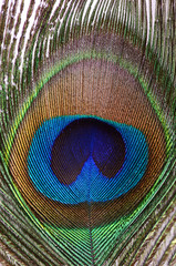 Beautiful feather of a peacock