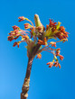 Red maple catkins against blue sky background