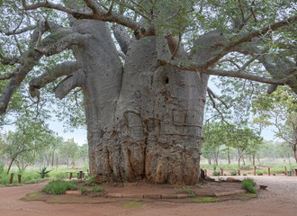 two thousand year old baobab tree