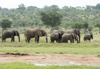 group of elephants in south african wild nature