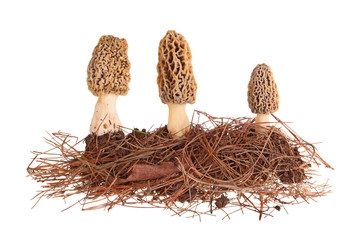 Yellow morel mushrooms and pine needle substrate isolated on whi
