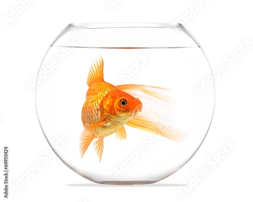 Leinwandbild Motiv Goldfish floating in glass sphere and on a white background