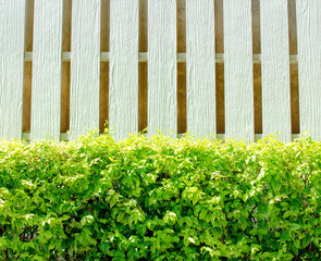 Hedge and white wooden wall