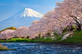Fotoroleta Fuji and Sakura