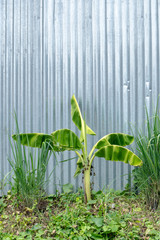 Banana tree with galvanised iron wall