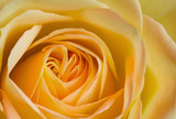Close up image of orange and yellow rose