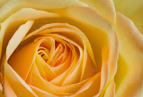canvas print picture Close up image of orange and yellow rose