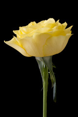 Beautiful yellow rose on a black background