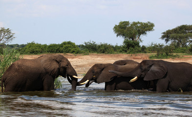 Elephant meeting in the Nile