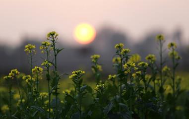 Sunset behind a Mustard field