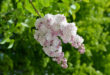 Blossoming white-pink terry lilac (Syringa L. ) Excelent grades