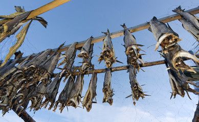 Drying cod fish in Norway