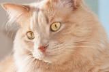 Portret rudego kota