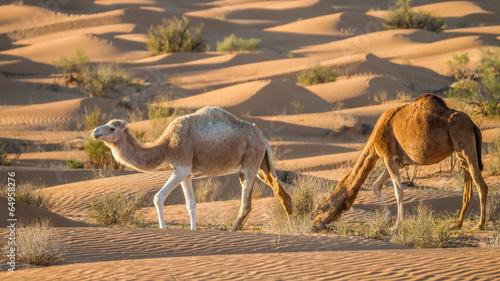 Fotobehang Tunesië Weisses Kamel in der Wüste