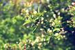 blooming garden apple tree
