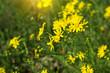 sunlit yellow flowers in a meadow