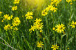 field of sunny yellow flowers