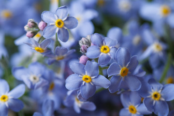 Beautiful floral background of blue forget-me-not