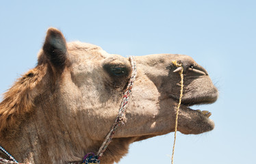 portrait of an indian camel