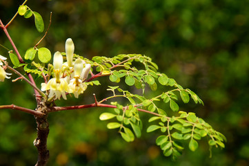 young moringa tree with leaves and flowers