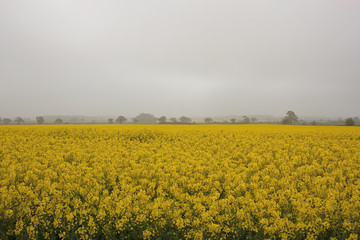 misty rapeseed fields