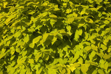 philadelphus aurea background leaves