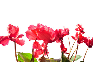 bright red cyclamens is isolated on a white background