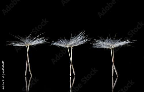 Dandelion Seeds resembling ballet dancers