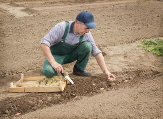 Happy farmer manually put the potatoes