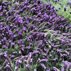 Bunch of scented flowers in the lavender fields