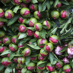 plenty of Beautiful peony flower bud