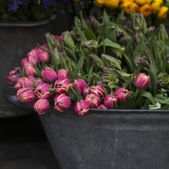 pink tulip, yellow lupin and bluebell for sale
