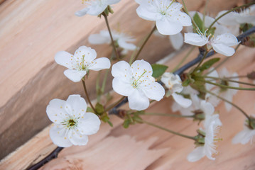 branch of cherry blossoms on wooden board. frame