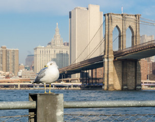 Seagull with Brooklyn Bridge and lower Manhattan Background.