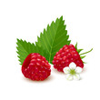 Raspberry on white background. Vector illustration