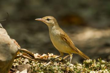 Oriental Reed Warbler (Acrocephalus orientalis) in nature