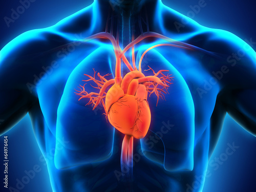 Human Heart Anatomy - 64976454