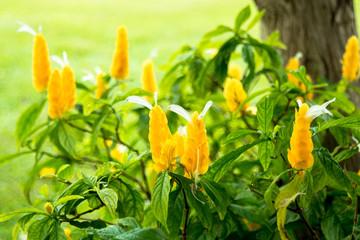 パキスタキス・ルテアの花
