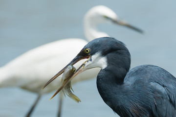 A Western Reef Heron (Egretta gularis) with a fish in its bill