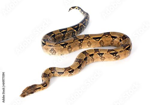 Boa constrictor - 64977094