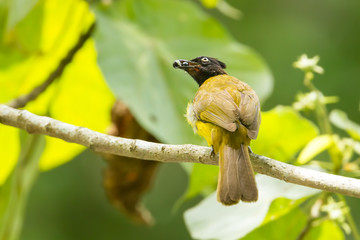Black-crested Bulbul bird with fruit in nature of Thailand