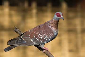 Speckled Pigeon (Columba Guinea) perched on a branch