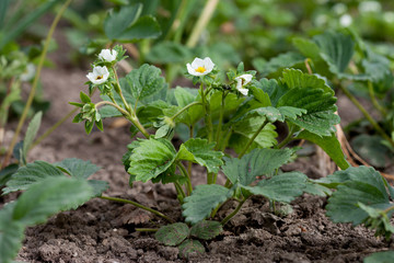 Fresh green strawberries, growing in garden